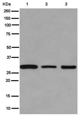 Western blot - Anti-PD-L2 antibody [EPR1163(2)] (ab187662)