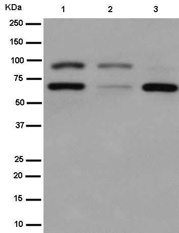 Western blot - Anti-TAGAP antibody [EPR15593] (ab187664)