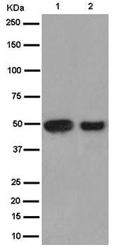 Western blot - Anti-HESP antibody [EPR12943(2)-44] (ab187669)