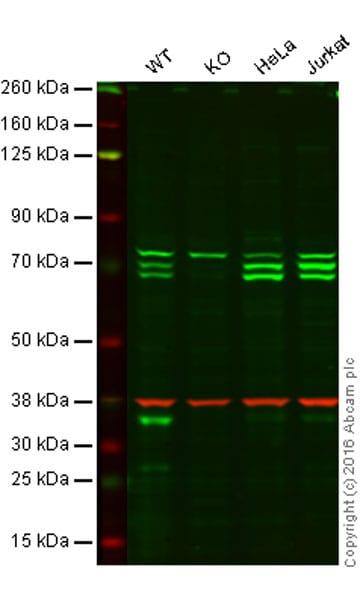 Western blot - Anti-ATG16L1 antibody [EPR15638] - N-terminal (ab187671)