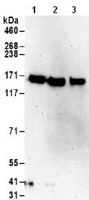 Western blot - Anti-TTLL5 antibody (ab187697)