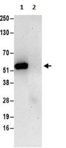 Immunoprecipitation - Anti-RRAGC antibody (ab187705)