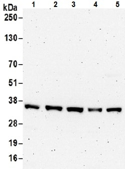 Western blot - Anti-Transaldolase 1 antibody (ab187730)