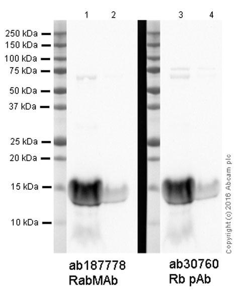 Western blot - Anti-Hepcidin-25 antibody [EPR18074] (ab187778)
