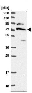 Western blot - Anti-DDX55 antibody - C-terminal (ab187895)