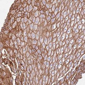 Immunohistochemistry (Formalin/PFA-fixed paraffin-embedded sections) - Anti-RHCG antibody (ab187904)