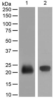 Western blot - Anti-Lipocalin-2 / NGAL antibody [EPR5084] - BSA and Azide free (ab187969)