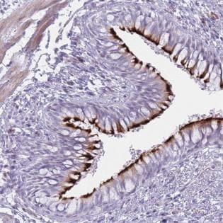 Immunohistochemistry (Formalin/PFA-fixed paraffin-embedded sections) - Anti-Interferon alpha 6 antibody (ab187989)