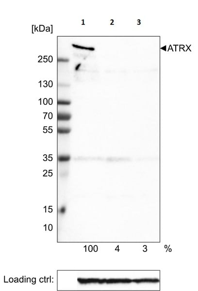 Western blot - Anti-ATRX antibody [CL0537] (ab188027)