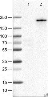 Western blot - Anti-PLA2R antibody [CL0474] (ab188028)