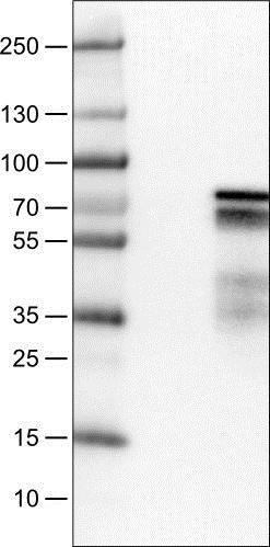 Western blot - Anti-ZNF703 antibody [CL0654] (ab188031)