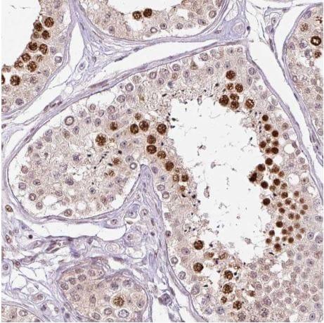 Immunohistochemistry (Formalin/PFA-fixed paraffin-embedded sections) - Anti-TCFL5 antibody (ab188075)