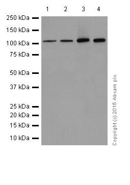 Western blot - Anti-PGC1 alpha + beta antibody [EPR18289] (ab188102)