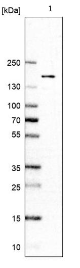 Western blot - Anti-RECQL4 antibody (ab188125)