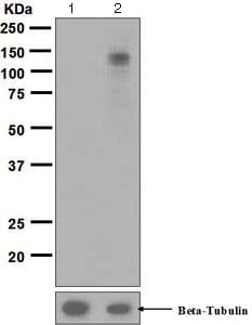Western blot - Anti-EPH A3+A4+A5 (phospho Y779 + Y779 + Y833) antibody [EPR5684] - BSA and Azide free (ab188171)