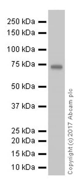 Western blot - Anti-COX2 / Cyclooxygenase 2 antibody [EPR18376-119] - C-terminal (ab188184)