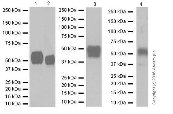 Western blot - Anti-CD147 antibody [EPR18008-8] (ab188190)