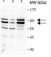 Western blot - Anti-RAD18 antibody (ab188235)