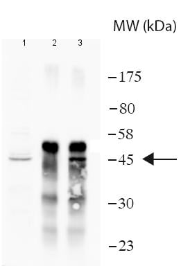 Immunoprecipitation - Anti-UBE2Q2 antibody (ab188238)