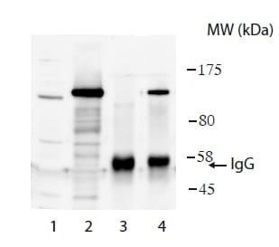 Western blot - Anti-USP26 antibody (ab188239)