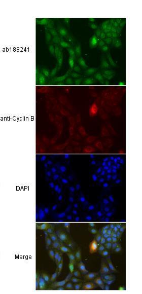 Immunocytochemistry/ Immunofluorescence - Anti-Bora antibody (ab188241)