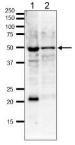 Western blot - Anti-gamma Tubulin antibody - C-terminal (ab188270)