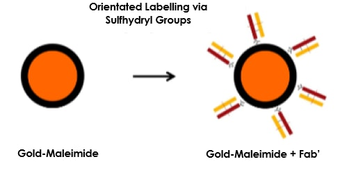 Orientated Labelling via Sulfhydryl Groups