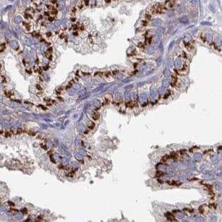 Immunohistochemistry (Formalin/PFA-fixed paraffin-embedded sections) - Anti-EFL1 antibody (ab188305)