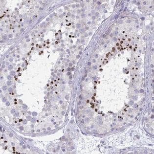 Immunohistochemistry (Formalin/PFA-fixed paraffin-embedded sections) - Anti-OXLD1 antibody (ab188306)