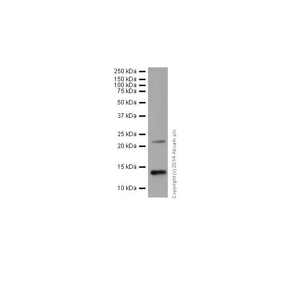 Western blot - Anti-Histone H2A.Z antibody [EPR18090] - ChIP Grade (ab188314)