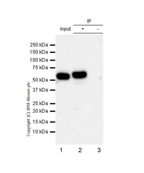Immunoprecipitation - Anti-Fyn (phospho Y530) + Yes (phospho Y537) antibody [EPR13512] (ab188319)