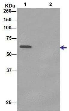 Immunoprecipitation - Anti-ATIC antibody [EPR13243-53] (ab188321)