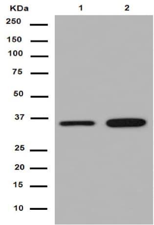 Western blot - Anti-TXNL1 antibody [EPR16061(B)] - N-terminal (ab188328)
