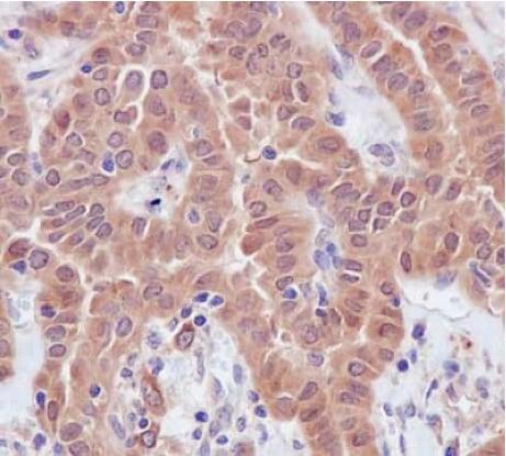 Immunohistochemistry (Formalin/PFA-fixed paraffin-embedded sections) - Anti-TXNL1 antibody [EPR16061(B)] - N-terminal (ab188328)