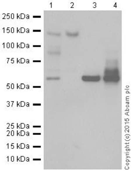 Western blot - Anti-CTCF antibody [EPR18253] - ChIP Grade (ab188408)