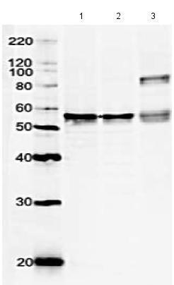Western blot - Anti-GRWD1 antibody - BSA and Azide free (ab188419)