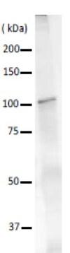 Immunoprecipitation - Anti-DNA polymerase I antibody (ab188424)