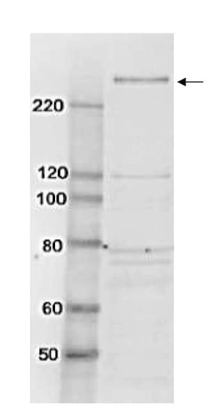 Western blot - Anti-TAF1 antibody (ab188427)