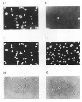 Immunocytochemistry/ Immunofluorescence - Anti-TAF1 antibody (ab188427)