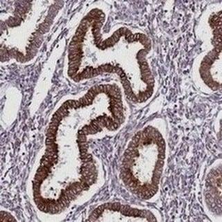 Immunohistochemistry (Formalin/PFA-fixed paraffin-embedded sections) - Anti-TMEM56 antibody - C-terminal (ab188442)