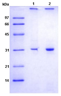 SDS-PAGE - Recombinant Human NPHS2 protein (ab188448)