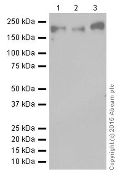 Western blot - Anti-Dnmt1 antibody [EPR18453] (ab188453)