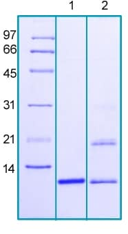SDS-PAGE - Recombinant Human Neuritin protein (ab188458)