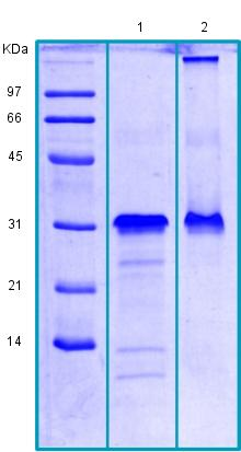SDS-PAGE - Recombinant Human CRISP2 protein (ab188468)