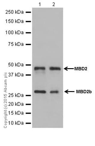 Western blot - Anti-MBD2 antibody [EPR18361] (ab188474)
