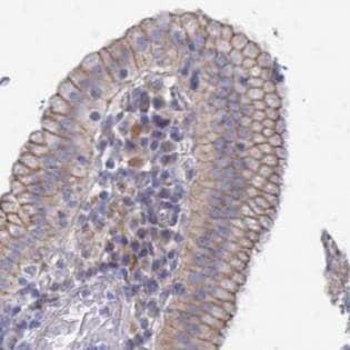 Immunohistochemistry (Formalin/PFA-fixed paraffin-embedded sections) - Anti-PH domain-containing family G member 7 antibody (ab188481)