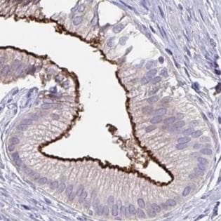 Immunohistochemistry (Formalin/PFA-fixed paraffin-embedded sections) - Anti-PIGZ antibody (ab188512)