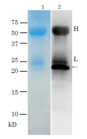 Immunoprecipitation - Anti-TDH antibody - BSA and Azide free (ab188540)