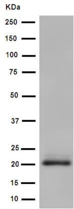 Western blot - Anti-MCEMP1 antibody [EPR14393] - C-terminal (ab188572)
