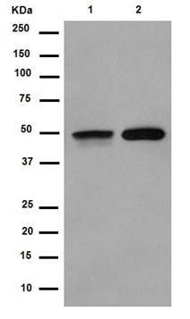 Western blot - Anti-FOXL2 antibody [EPR4837] (ab188584)